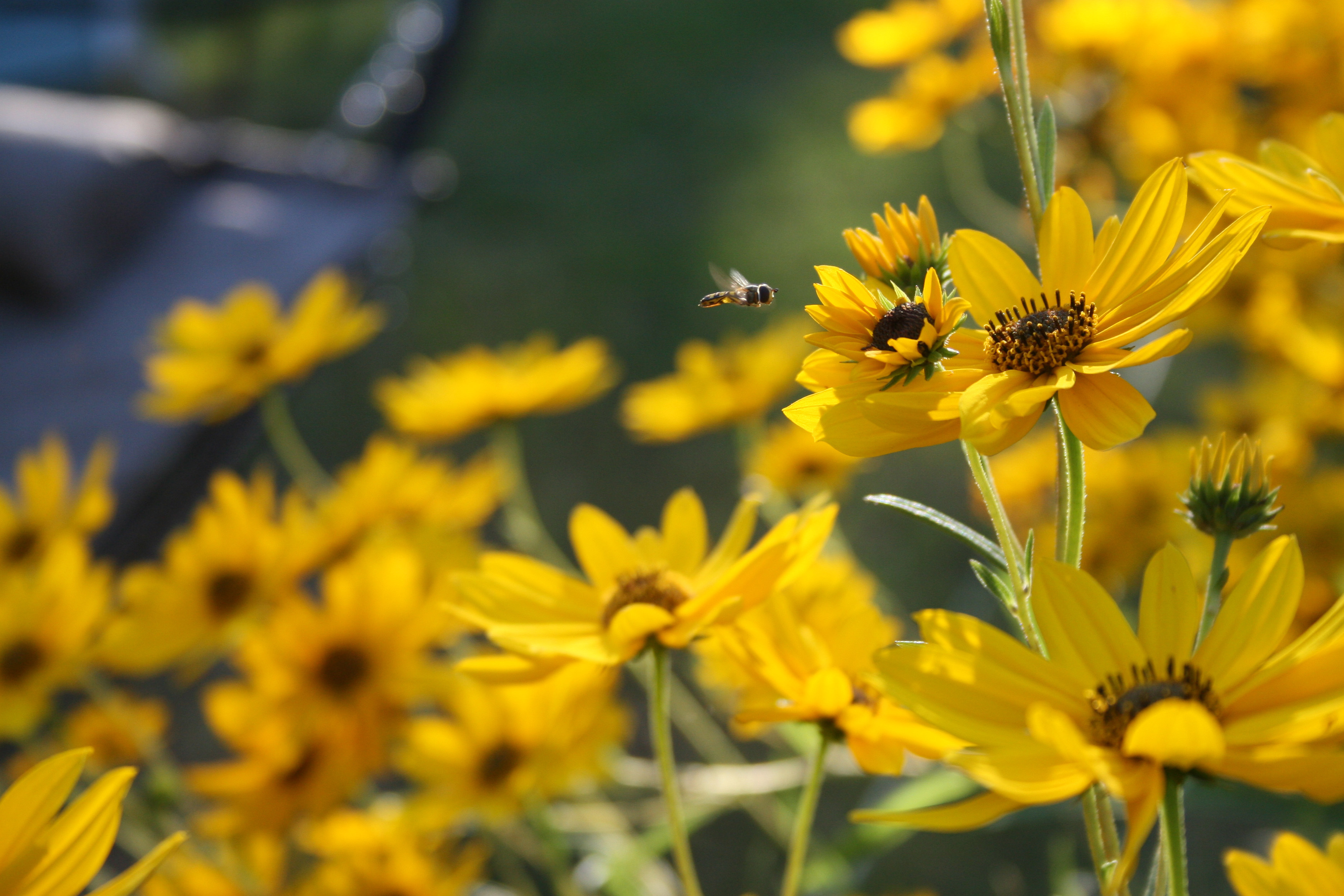 Bee Approaching A Yellow Flower Georgias Pollinator Protection Plan