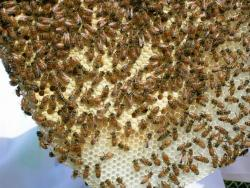 First-year honey bees in a hive