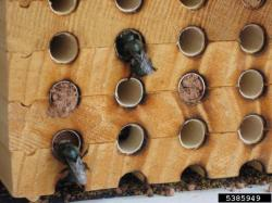 Photo of mason bees entering wood structure