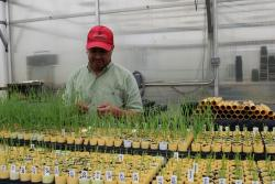 Photo of Dr. Mohammed Mergoum examining wheat seedlings