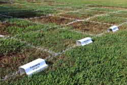 A herbicide trial on the turfgrass research plots at UGA-Griffin