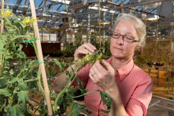 Esther van der Knaap inspects a plant in a UGA greenhouse