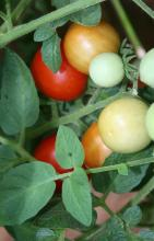 Tomato plant with tomatoes in various stages of ripeness.